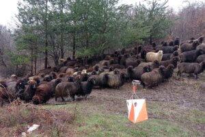 Овце на Плана Опън